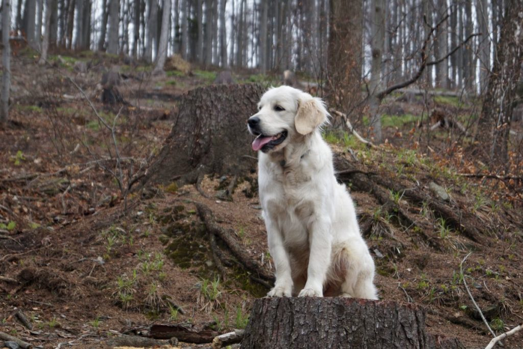 Golden Retriever z hodowli Queen Rosa