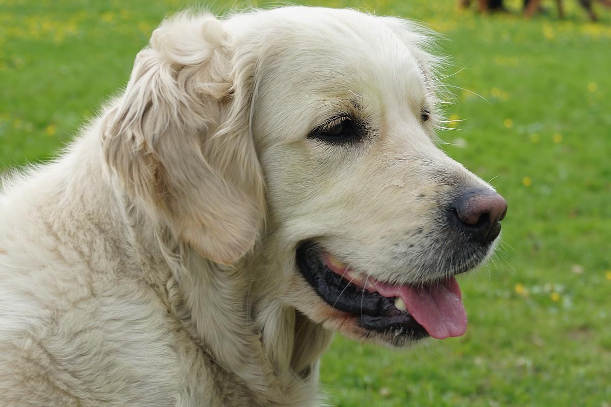 Jak wybrać hodowlę psów? Poszukiwanie i wybór hodowli.