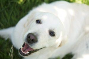 Hotel dla psa: jak wybrać dobry hotel dla psów? Golden Retriever