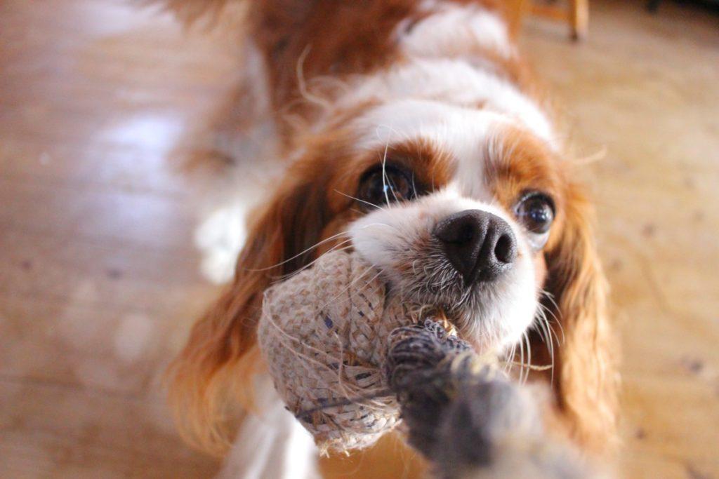 Cavalier King Charles Spaniel - pies dla rodziny