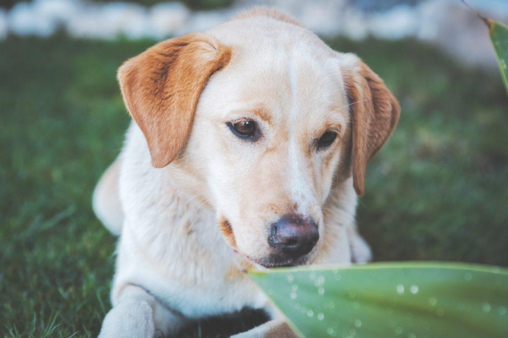 Labrador retriever pies dla rodziny z dziećmi