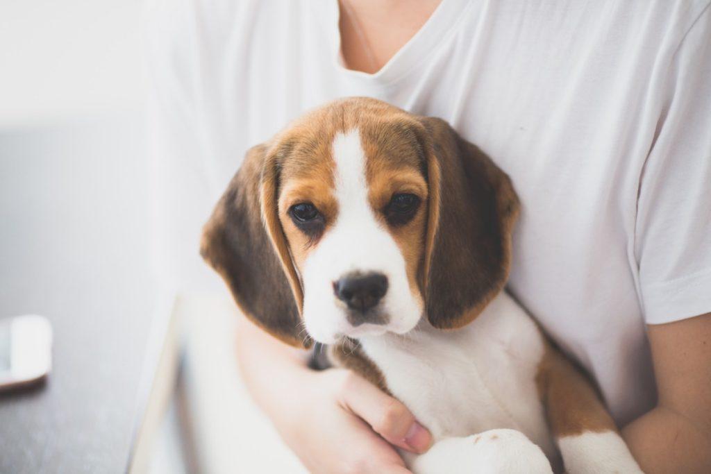 Beagle pies dla rodziny