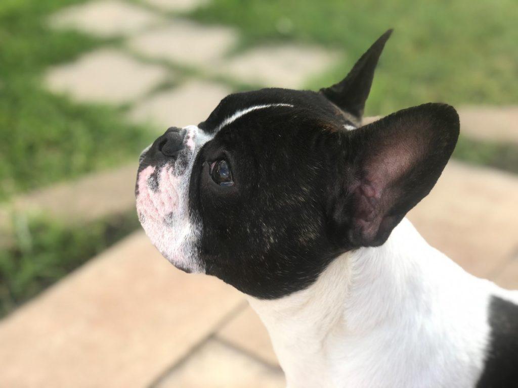 Pies dla rodziny - buldożek francuski