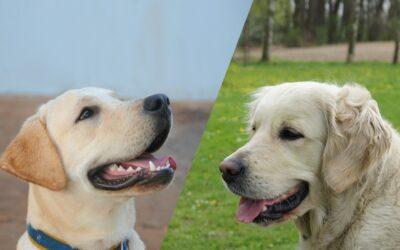 Golden Retriever a Labrador. Różnice i podobieństwa