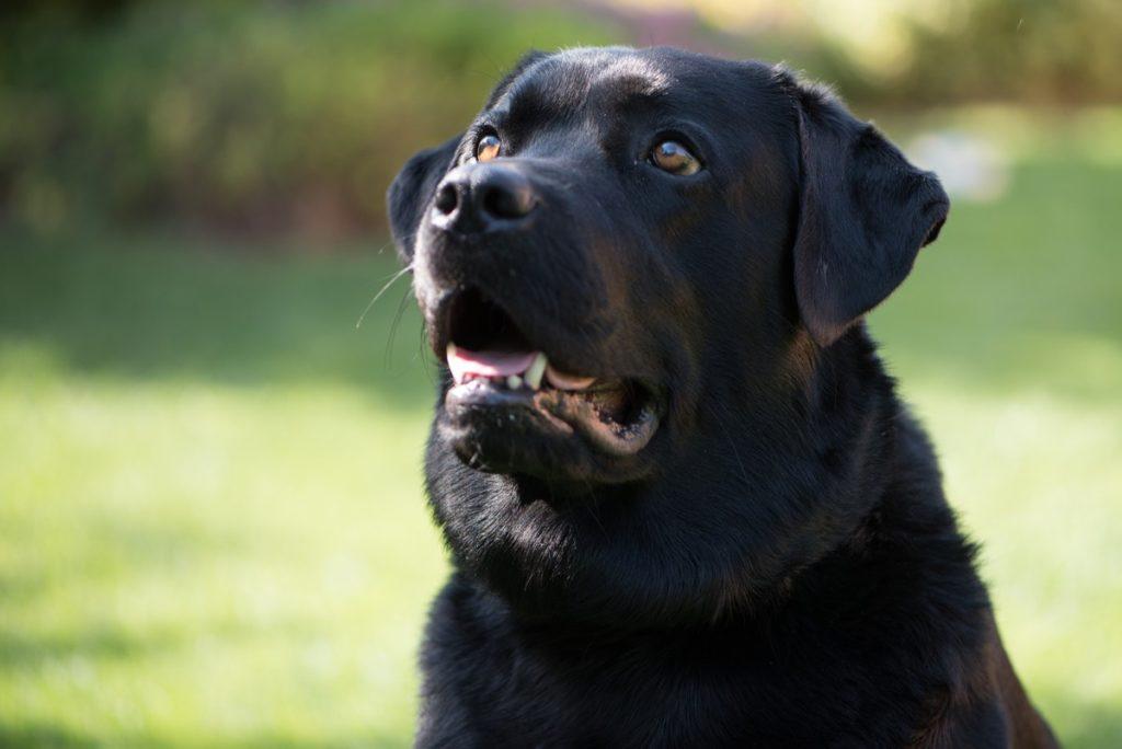 Labrador czarny