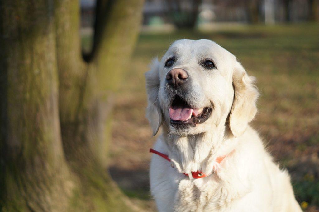 Nasze psy Golden Retriever