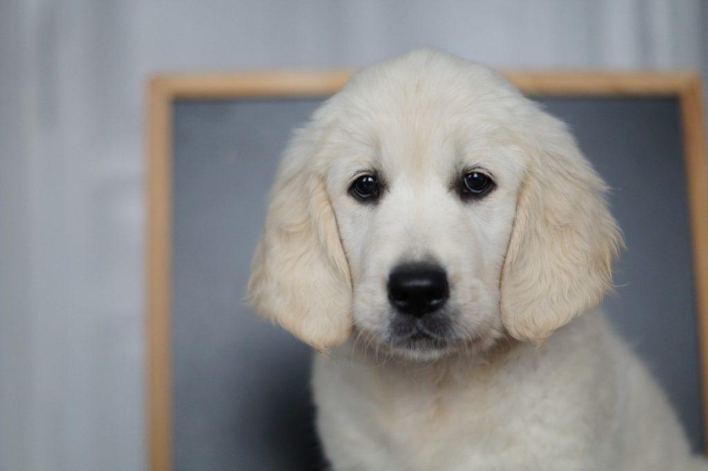Nauka psa rasy Golden Retriever