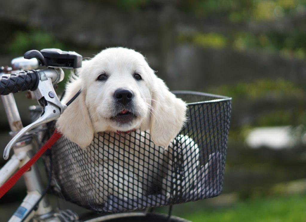Socjalizacja psa rasy Golden Retriever