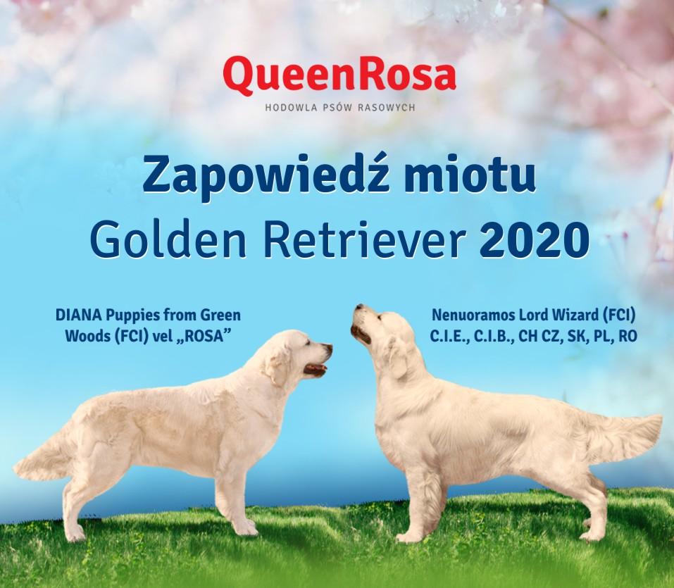 Zapowiedź miotu Golden Retriever 2020