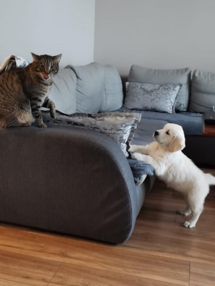 Szczeniak Golden Retriever bawi się z kotem