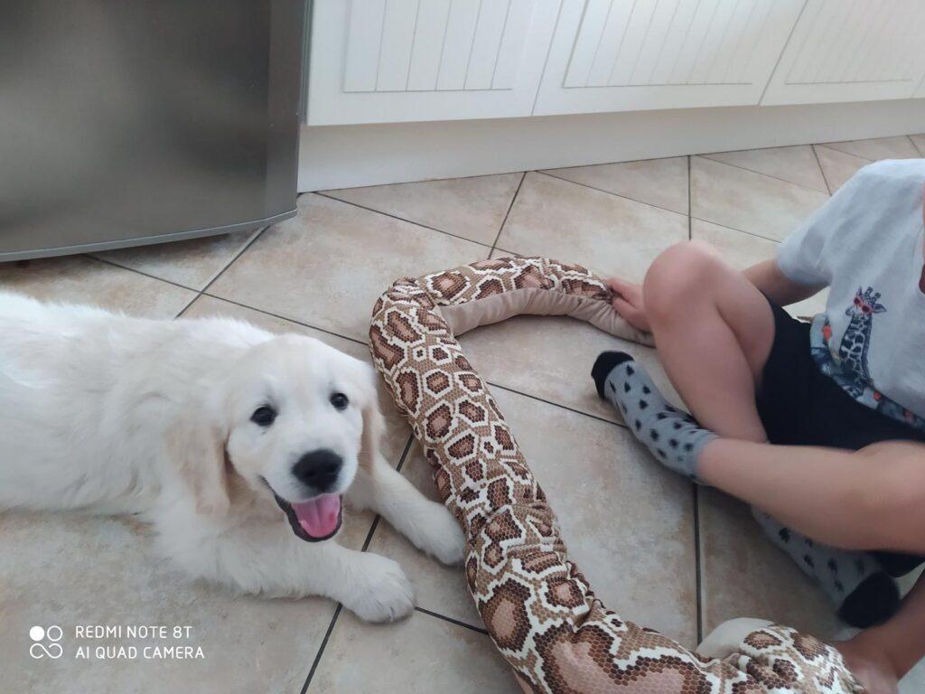 Szczeniak Golden Retriever i wąż