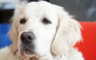 Biały Golden Retriever – charakter, szczeniaki, cena