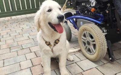 Golden Retriever – idealny pies przewodnik