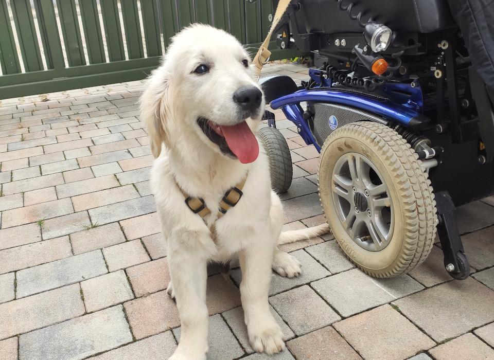 Najlepszy pies przewodnik Golden Retriever.