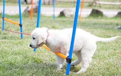 Psie sporty a Golden Retriever