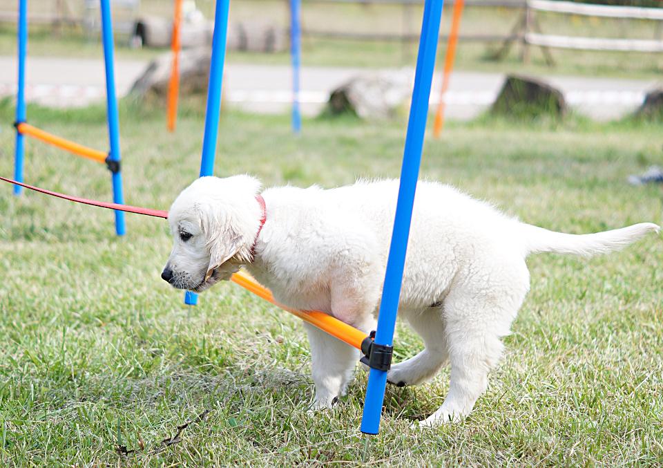 Psie sporty. Golden Retriever i trening