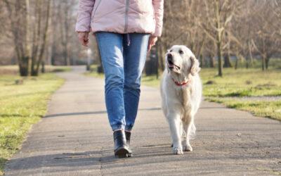 Ile ruchu potrzebuje pies Golden Retriever