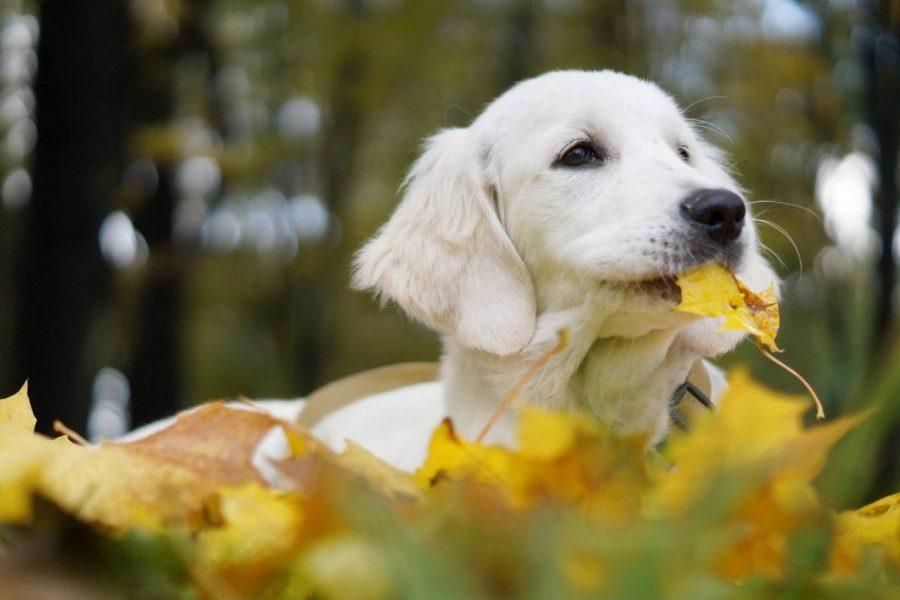 Szczeniaki Golden Retriever bawiące się w jesiennych liściach.